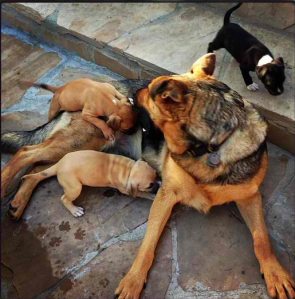"""""""My sweet girl is so good to her foster babies. If you're interested in adopting one of these little boxer/mastiff kids visit www.stmartinsrescue.org"""" -Nikki"""